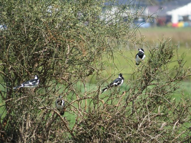 A tree of Magpie-larks