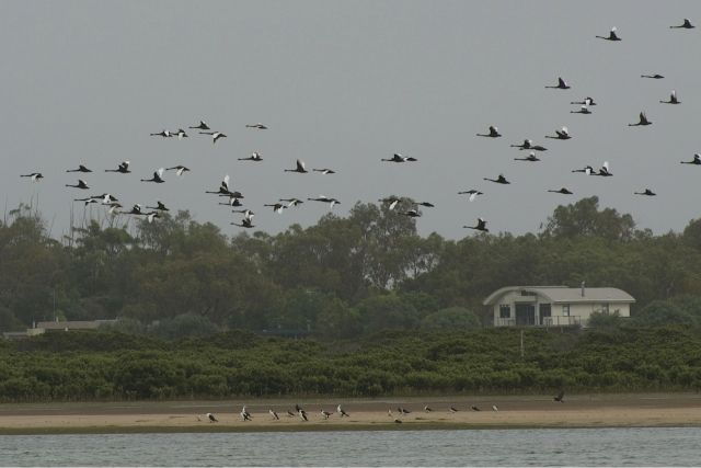 Swans over the Barwon Estuary