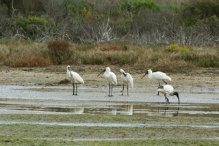Royal Spoonbill and White Ibis