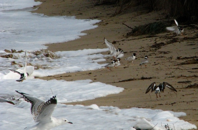 High tide problems for shore birds