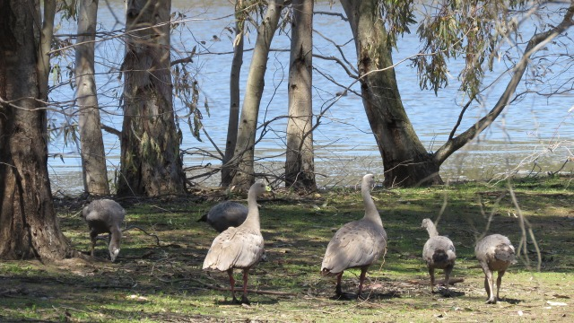capebarrengeese