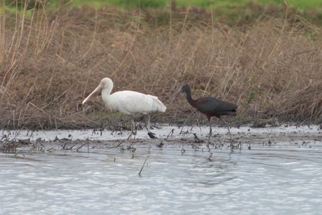 Yellow-billed Spoonbill & Glossy Ibis