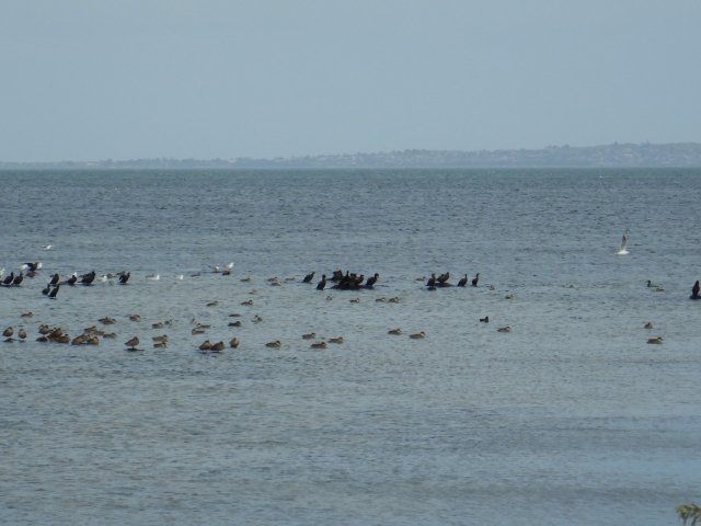 Masses of duck, cormorants, gulls and spot the tern