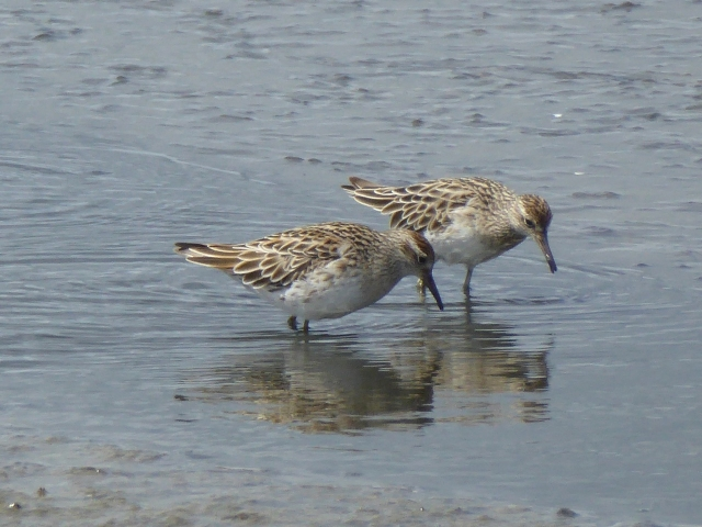 sharptailedsandpipers