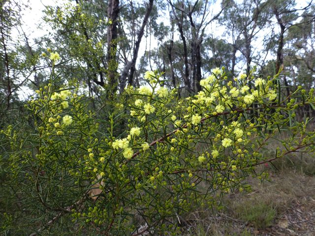 Spreading Wattle