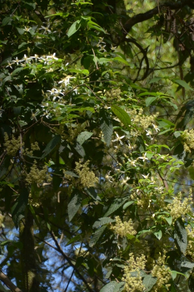 Pomaderris and Clematis
