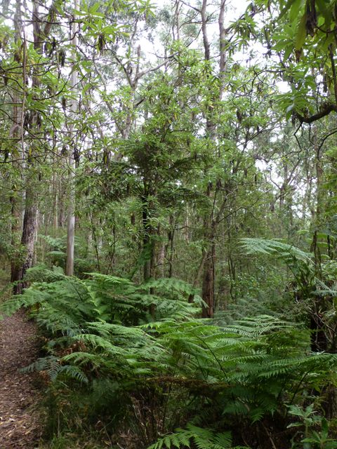 Tree ferns under the canopy of eucalypts