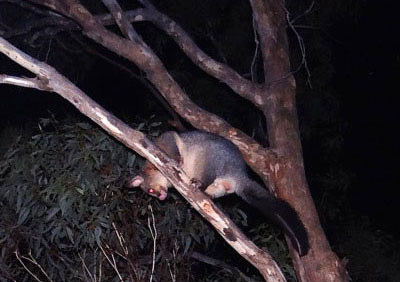 Common Brushtail Possums