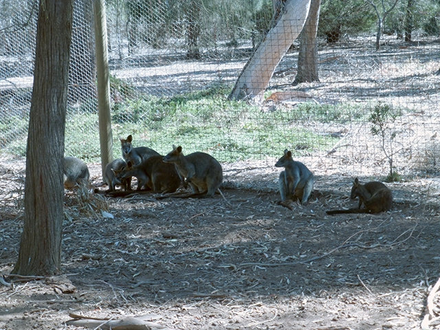 Black Wallabies resting in the shade of a large tree
