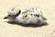 Hooded Plover chick