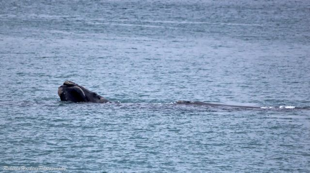 Note the callosoties - the grey calluses on the head of right whales