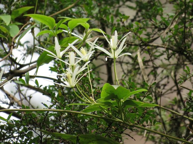 Mountain Clematis