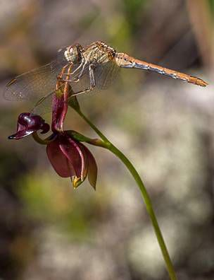 Flying Duck Orchid with dragonfly