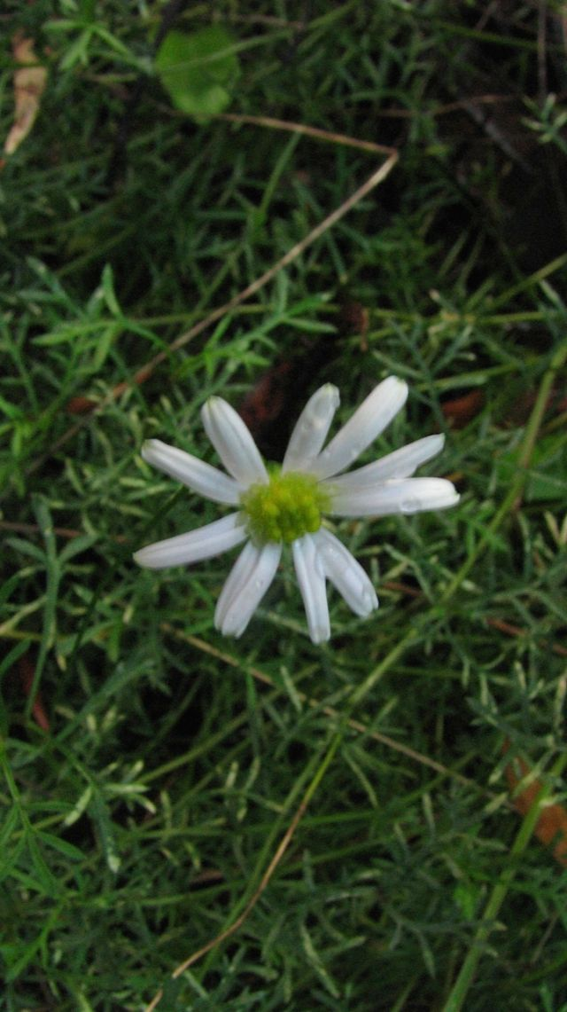 Cut-leaf Daisy in forest