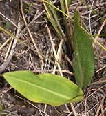 Large Tongue Orchid leaves