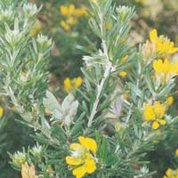 Flax-leaf Broom